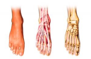 Functional Feet Anatomy